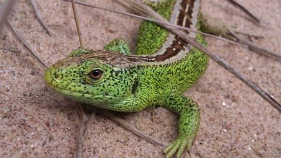 946-green-lizard